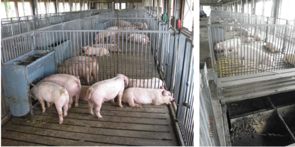 Low-Protein Feed Shown to Significantly Reduce Environmental Impact of Pig Farming Industry