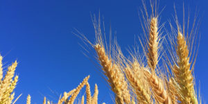 Tokyo, Yamanashi Researchers Find Rye to Increase Life Span by 22%