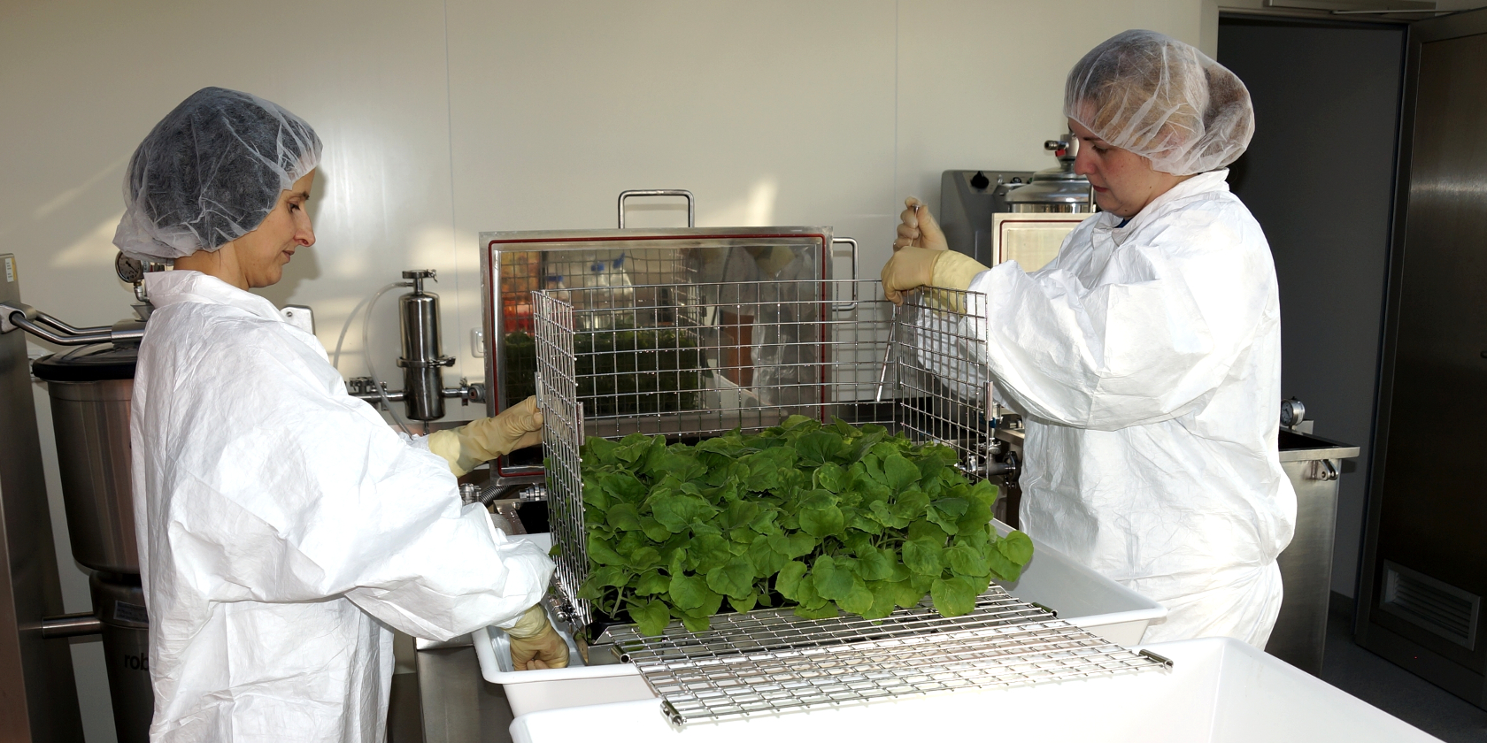 Denka Moves to Mass-Produce Proteins from Tobacco Leaves