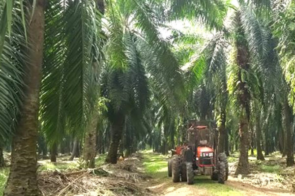 Green Earth Institute Eyes Business to Make Chemicals From Felled Palm Trunks